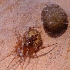 Theridiidae sp. (family) (Comb-footed spider) at Coree, ACT - 2 Nov 2020 by Kurt