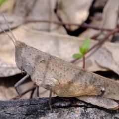 Goniaea opomaloides (Mimetic Gumleaf Grasshopper) at Cotter Reserve - 2 Nov 2020 by Kurt