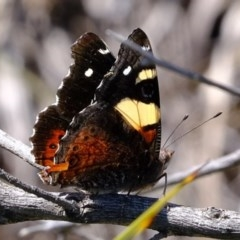Vanessa itea (Yellow Admiral) at Lower Cotter Catchment - 2 Nov 2020 by Kurt