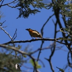 Pardalotus punctatus (Spotted Pardalote) at Wodonga - 1 Nov 2020 by Kyliegw