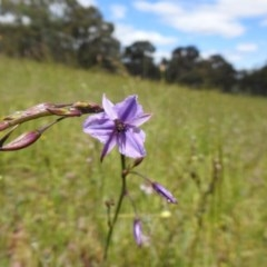 Arthropodium fimbriatum (Chocolate Lily) at Black Mountain - 1 Nov 2020 by Liam.m