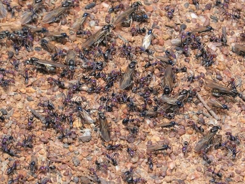 Iridomyrmex purpureus at Red Hill Nature Reserve - 2 Nov 2020