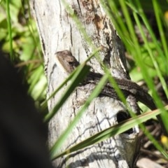 Amphibolurus muricatus (Jacky Dragon) at Black Mountain - 1 Nov 2020 by Liam.m