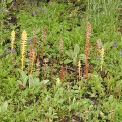 Orobanche minor (Lesser Broomrape) at Rob Roy Range - 24 Oct 2020 by Liam.m