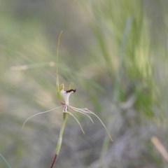 Caladenia atrovespa (Green-comb Spider Orchid) at Wanniassa Hill - 29 Oct 2020 by Liam.m