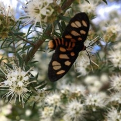 Amata sp. (genus) (A Tiger moth) at Broulee, NSW - 30 Oct 2020 by PeterA