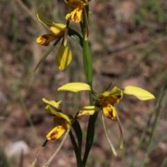 Diuris sulphurea (Tiger orchid) at MTR591 at Gundaroo - 2 Nov 2020 by MaartjeSevenster
