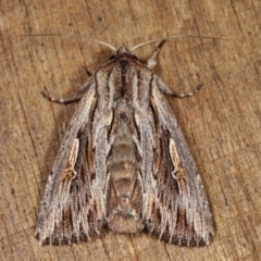 Persectania (genus) (A Noctuid moth) at Melba, ACT - 1 Nov 2020 by kasiaaus