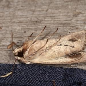 Persectania (genus) at Melba, ACT - 1 Nov 2020