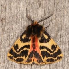 Spilosoma curvata (Crimson Tiger Moth) at Melba, ACT - 1 Nov 2020 by kasiaaus