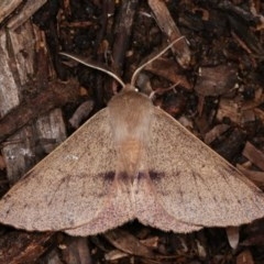 Arhodia lasiocamparia (Pink Arhodia) at Melba, ACT - 1 Nov 2020 by kasiaaus