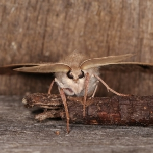 Arhodia lasiocamparia at Melba, ACT - 1 Nov 2020