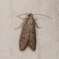 Heteromicta pachytera (Pyralid moth) at Melba, ACT - 1 Nov 2020 by kasiaaus