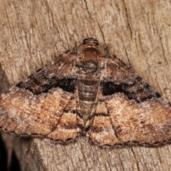Aporoctena (genus) (A Geometrid moth) at Melba, ACT - 1 Nov 2020 by kasiaaus