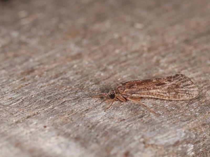 Trichoptera sp. (order) at Melba, ACT - 1 Nov 2020