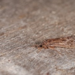 Trichoptera sp. (order) (Unidentified Caddisfly) at Melba, ACT - 1 Nov 2020 by kasiaaus