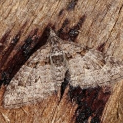 Phrissogonus laticostata (Apple looper moth) at Melba, ACT - 1 Nov 2020 by kasiaaus