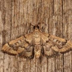 Nacoleia rhoeoalis (A Pyralid Moth) at Melba, ACT - 1 Nov 2020 by kasiaaus