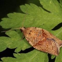 Epiphyas postvittana (Light Brown Apple Moth) at Melba, ACT - 1 Nov 2020 by kasiaaus