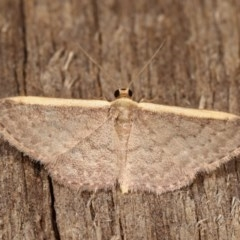 Idaea costaria (White-edged Wave) at Melba, ACT - 1 Nov 2020 by kasiaaus