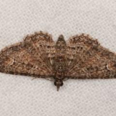 Chloroclystis filata (Filata Moth, Australian Pug Moth) at Melba, ACT - 1 Nov 2020 by kasiaaus