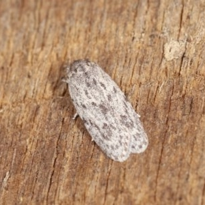 Agriophara undescribed species at Melba, ACT - 1 Nov 2020