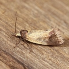 Merocroca automima (A concealer moth) at Melba, ACT - 1 Nov 2020 by kasiaaus