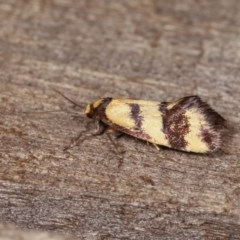 Olbonoma triptycha (Concealer moth) at Melba, ACT - 1 Nov 2020 by kasiaaus