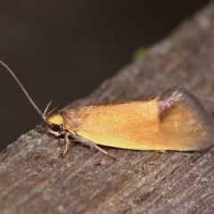 Delexocha ochrocausta (A concealer moth) at Melba, ACT - 1 Nov 2020 by kasiaaus