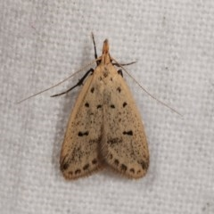 Atheropla decaspila (A concealer moth) at Melba, ACT - 1 Nov 2020 by kasiaaus