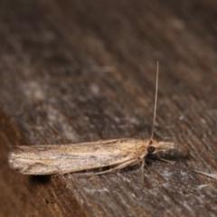 Faveria tritalis (Couchgrass Webworm) at Melba, ACT - 1 Nov 2020 by kasiaaus