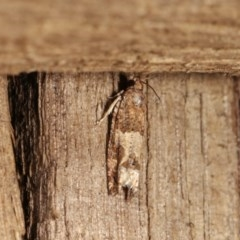 Crocidosema plebejana (Cotton Tipworm Moth) at Melba, ACT - 1 Nov 2020 by kasiaaus