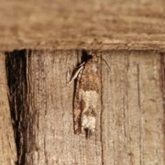 Crocidosema plebejana (Cotton Tipworm Moth) at Melba, ACT - 1 Nov 2020 by kasiaaus