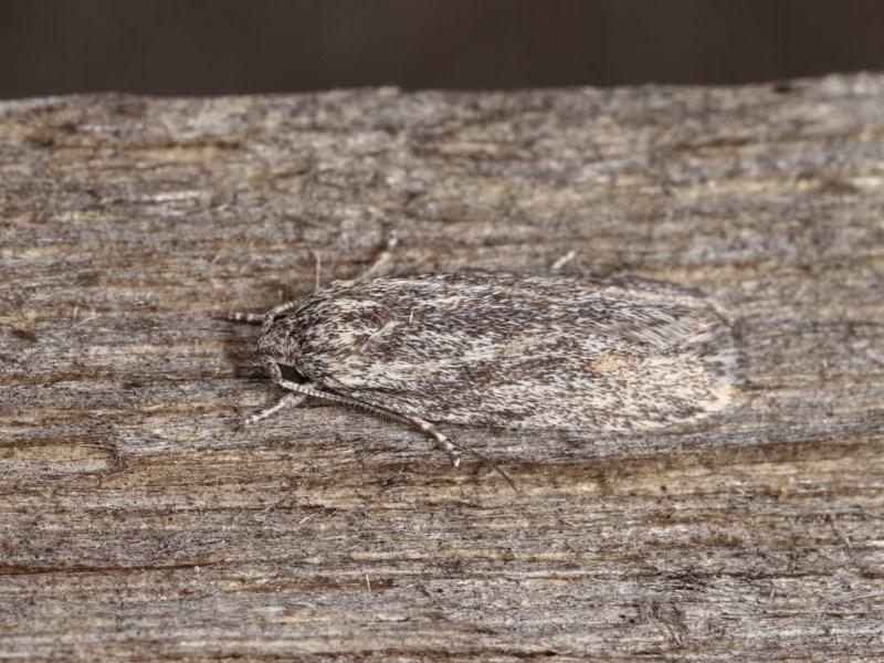 Agriophara dyscapna at Melba, ACT - 1 Nov 2020