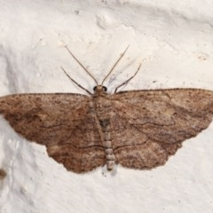 Ectropis (genus) (An engrailed moth) at Melba, ACT - 1 Nov 2020 by kasiaaus