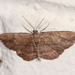 Ectropis (genus) at Melba, ACT - 2 Nov 2020