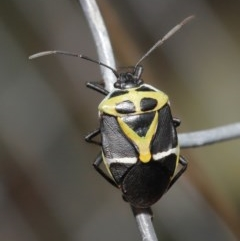 Commius elegans (Cherry Ballart Shield Bug) at ANBG - 23 Oct 2020 by TimL
