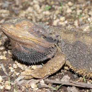 Pogona barbata at ANBG - 29 Oct 2020