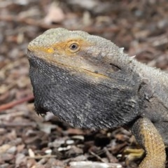 Pogona barbata (Eastern Bearded Dragon) at ANBG - 29 Oct 2020 by Tim L
