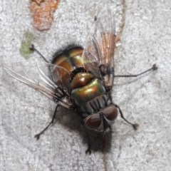 Rutilia (Donovanius) sp. (genus & subgenus) (A Bristle Fly) at ANBG - 29 Oct 2020 by TimL