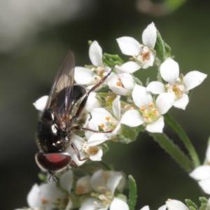 Psilota sp. (genus) at ANBG - 29 Oct 2020