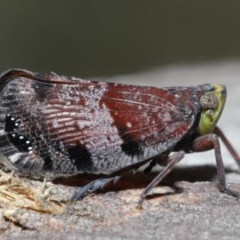 Platybrachys decemmacula (Green-faced gum hopper) at ANBG - 29 Oct 2020 by TimL