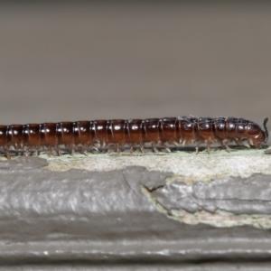 Diplopoda sp. (class) at ANBG - 29 Oct 2020