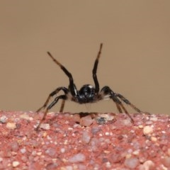 Zodariidae sp. (family) (Unidentified Ant spider or Spotted ground spider) at ANBG - 23 Oct 2020 by TimL
