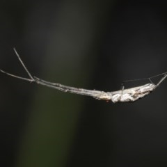 Tetragnatha sp. (genus) (Long-jawed spider) at ANBG - 28 Oct 2020 by TimL