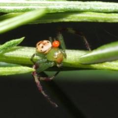 Tharrhalea pulleinei (Pulleine's Crab Spider) at ANBG - 1 Nov 2020 by TimL