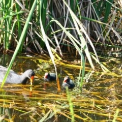 Gallinula tenebrosa (Dusky Moorhen) at Yerrabi Pond - 2 Nov 2020 by TrishGungahlin