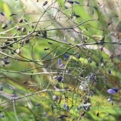 Dianella revoluta var. revoluta (Black-Anther Flax Lily) at Wodonga - 31 Oct 2020 by Kyliegw