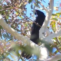 Eudynamys orientalis (Eastern Koel) at Bega, NSW - 2 Nov 2020 by MatthewHiggins