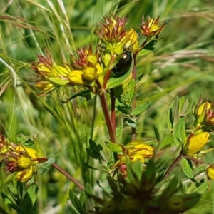 Hypericum perforatum at Crace Grasslands - 3 Nov 2020
